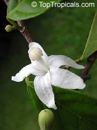 rosita-de-cacao-toptropicalscom.jpg